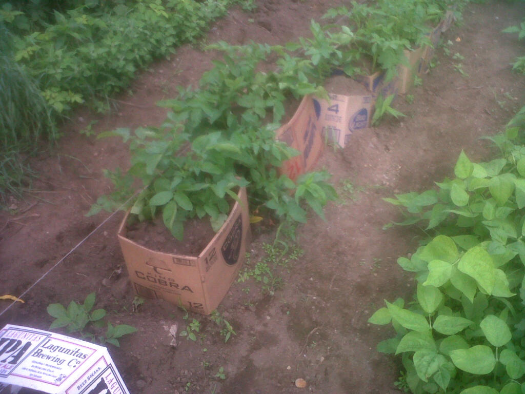 Cardboard Boxes For Potato Hilling And Square Foot Gardening